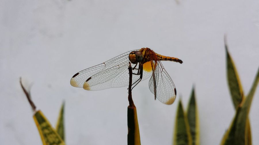 dragonfly singapore Dragonfly Biodiversity Wildlife Singapore Tropics Insects  Flies