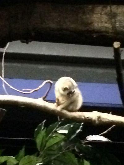 Belgium Slow Loris Zoo Cute Leaf Mammal No People One Animal Sitting Vertebrate