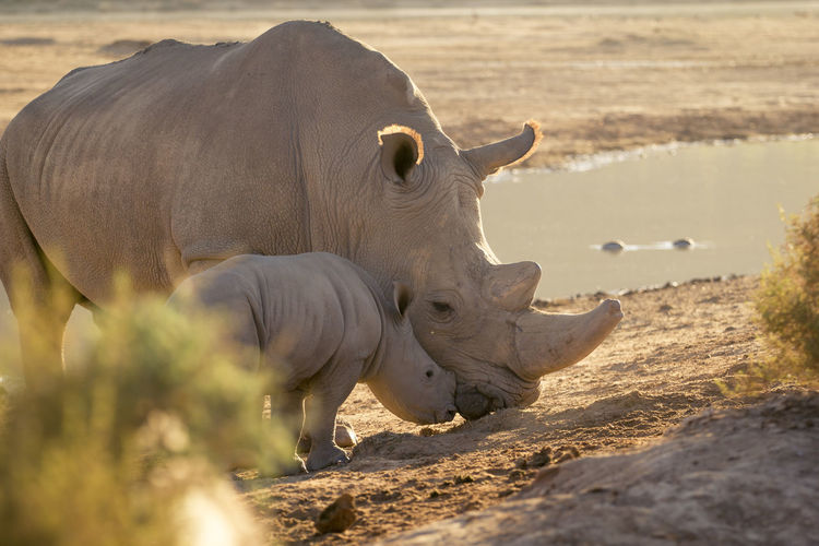 Rhinoceros standing on land during sunset