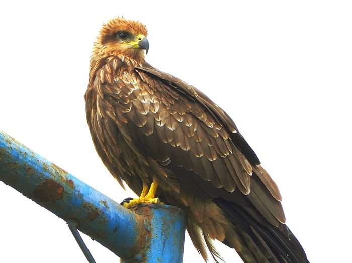 Low angle view of hawk perching on railing against sky