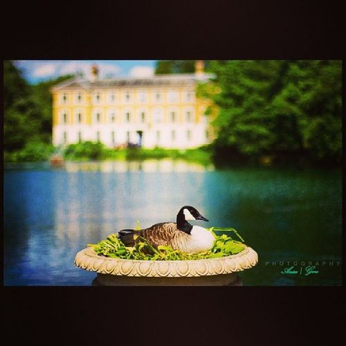 Along the british countryside I came upon a building built for the princess of wales and therein beyond the crystal blue pond sat a lazy duck soaking up the noon rays. Britishcottage BritishArchitecture Silliestduckiveeverseen Intheprincessgardens Canon Love Perspective Hiddenstories Instatravel Instamoments Instafunnies InstaUK Instalondon Daysliketheseiwishiwasawriter