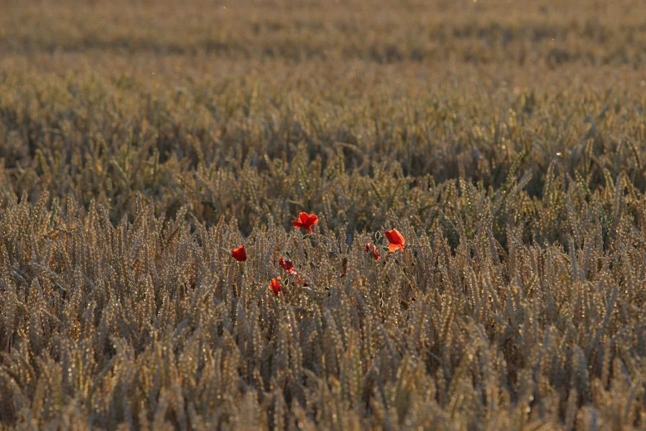 Poppies In Meadow