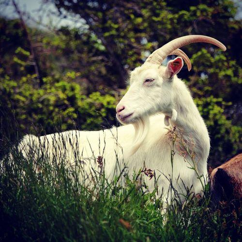 Goat One Animal Animal Head  Domestic Animals No People Grassland Mountain Goat