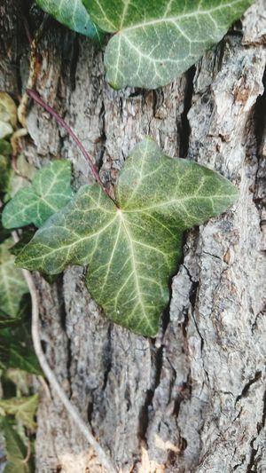 Efeu auf einem Baumstamm Efeu Efeu Auf Stamm Winter Green Color Blätter