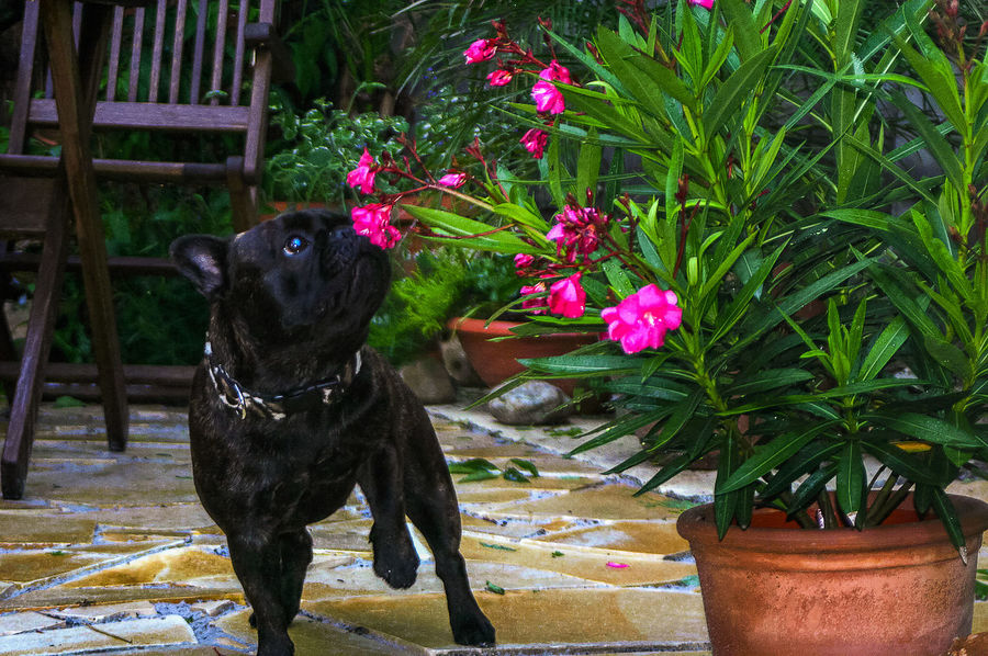 Lily the Bulldog Animal Themes Black Color Day Dog Domestic Animals Flower Freshness Growth Mammal MPOTM - WeekendChallengeNo1 Nature No People One Animal Outdoors Pets Plant
