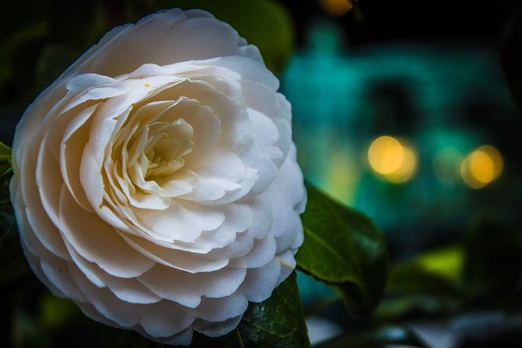 Floral beauty Flower Flowering Plant Close-up Plant Petal Beauty In Nature Flower Head Freshness Vulnerability  Inflorescence White Color Focus On Foreground Growth Fragility Rosé No People Rose - Flower Nature Day Softness