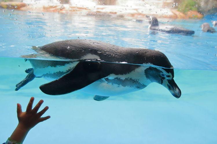 Penguin Swimming In Fish Tank At Aquarium