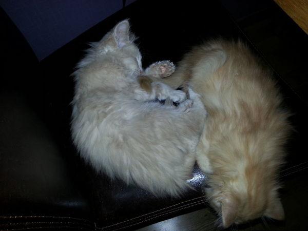 Cat Cuddlin Kittens Cute Kitten Popular Photos