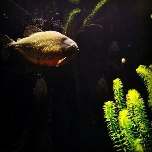 Piranha for Whpacquarium