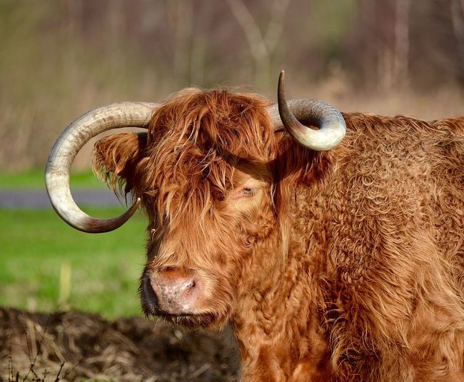 Close-up of highland cow on field