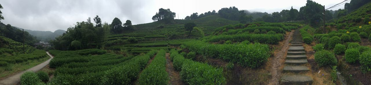 Panoramic capture of a tea plantation near Hangzhou Agriculture Beauty Day Detox Hangzhou Landscape Mountain Nature No People Outdoors Rice Paddy Social Issues Tea Tea Crop Tea Village Terraced Field Tropical Climate