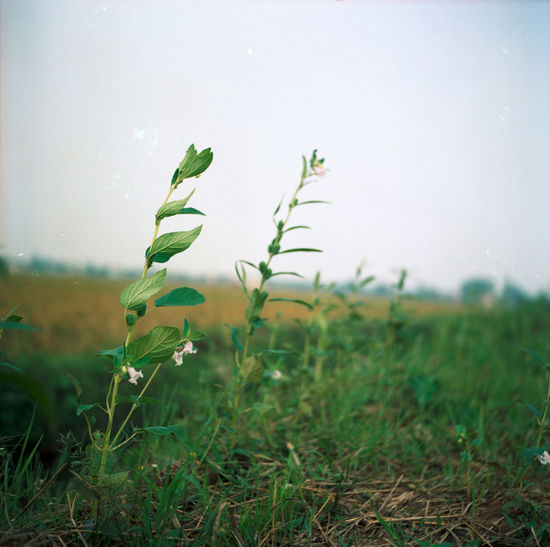 Close-up of fresh green plant on field against sky