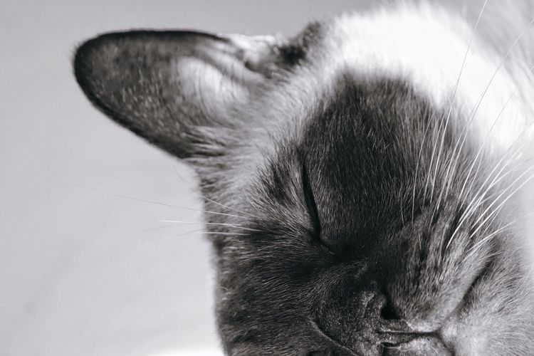 One Animal Pets Domestic Animals Mammal Animal Themes Close-up No People Indoors  White Background Day Cat Bokeh Bokeh Photography Close Up Blackandwhite Black And White Animals Relaxing Relax Sleep Dreaming Pet