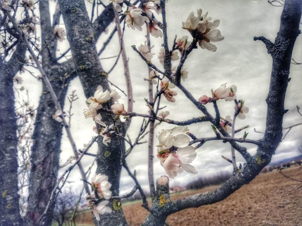 Blossom Spring Springtime Spring Flowers Spring Has Arrived Spring Time Nature #naturephotography #naturelovers Flower Tree Branch Close-up Plant Sky Blooming Cherry Tree Cherry Blossom Flora Fruit Tree Blossoming  Plant Life In Bloom Botanical Vegetation Greenery