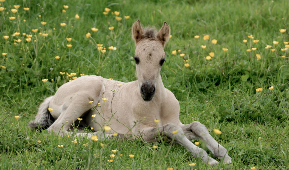 This beautiful foal was resting in a field full of yellow flowers. Foal In Field Green Green Green!  Animal Themes Day Domestic Animals Field Foal Foal Laying Down Grass Green Grass Growth Horse Horse Photography  Mammal Nature No People One Animal Outdoors Yellow Flowers Young Animal