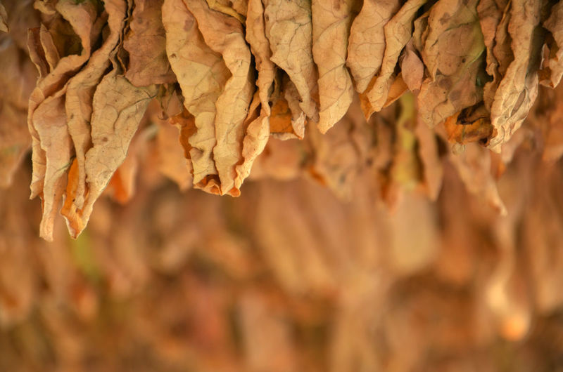 drying tobacco Agriculture Cigarette  Day Dry Drying Hanging Nature Nicotine No People Shallow Depth Of Field Tobacco Tobacco Leaf