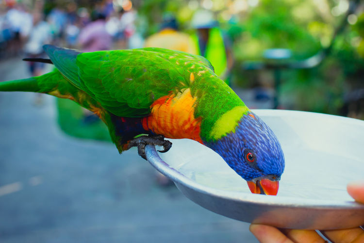 Cropped hand feeding rainbow lorikeet in container