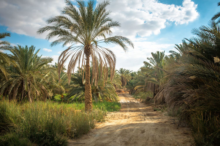 landscape and nature from Siwa Oasis in egypt Egypt Grass Green Color Nature Palm Tree Road Siwa Oasis Tree Blue Sky Cloud - Sky Dates Day Land Landscape Nature Palm Tree Plant Sand Tree Tropical Climate