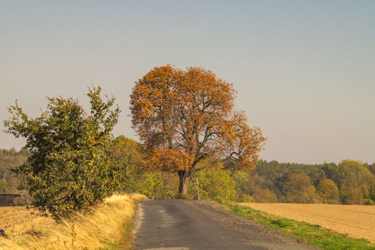 Die Kastanie im Herbstlaub Tree Plant Sky The Way Forward Direction Road Beauty In Nature Nature Autumn Tranquility Clear Sky Landscape Growth Tranquil Scene Change Scenics - Nature Transportation Day No People Land Outdoors Diminishing Perspective Treelined Long