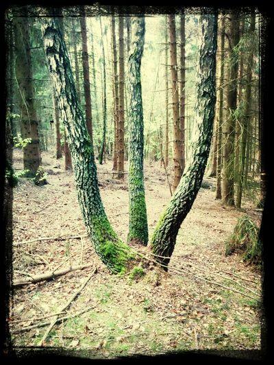 Triple Birch Tree