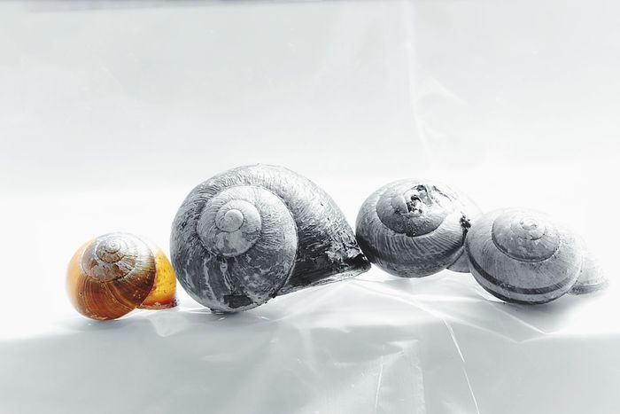 Still Life No People White Background Indoors  Table Close-up Snail Shell Snail Colorsplash Freshness Nature Day