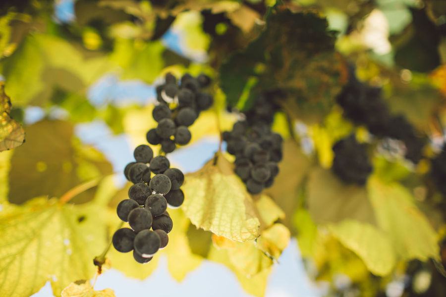 Vine Vineyard Plant Harvest Harvesting Harvest Time Autumn Fruit Grape Healthy Eating Food And Drink Growth Food Plant Part Freshness Leaf Agriculture Nature Day Wellbeing Green Color Bunch No People Tree Winemaking Ripe Outdoors Plantation