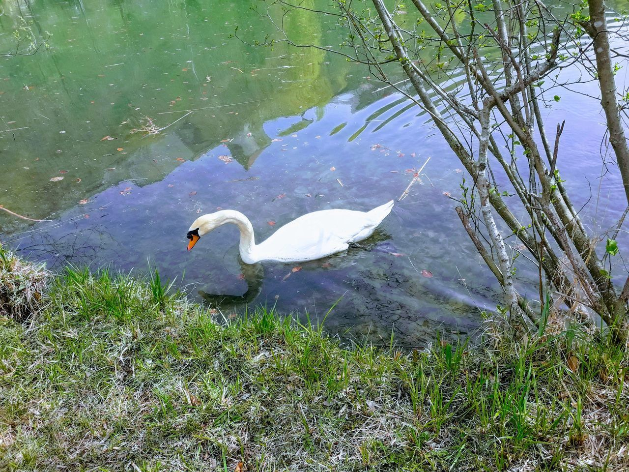 animal wildlife, animal themes, vertebrate, animals in the wild, bird, water, animal, lake, one animal, swan, nature, day, plant, no people, lakeshore, grass, high angle view, water bird, white color, floating on water, animal neck, animal family