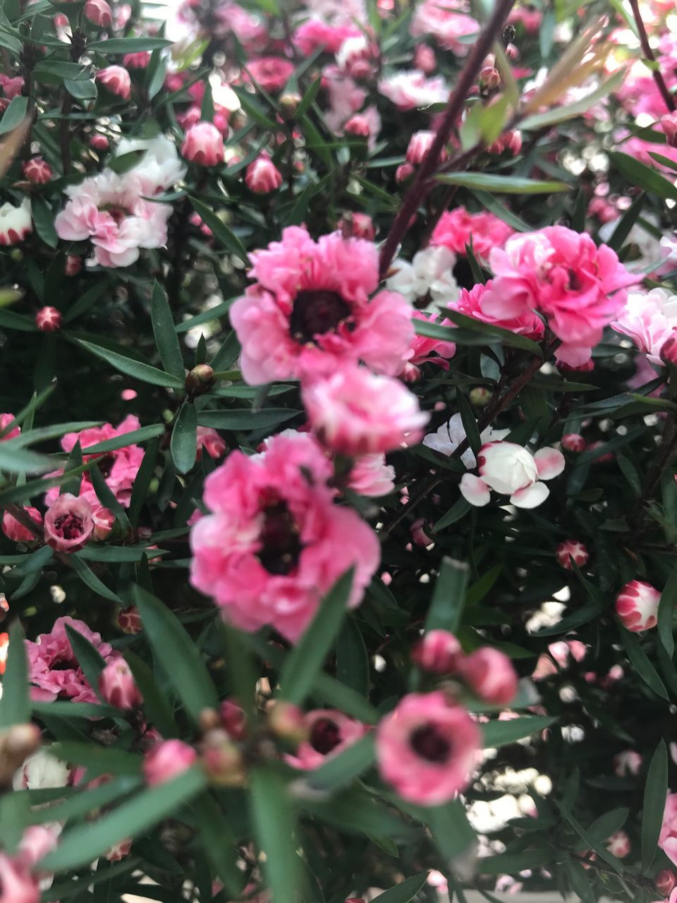 flower, flowering plant, plant, pink color, beauty in nature, fragility, vulnerability, growth, freshness, petal, nature, no people, close-up, selective focus, day, flower head, inflorescence, outdoors, garden, blossom, springtime, spring, lilac