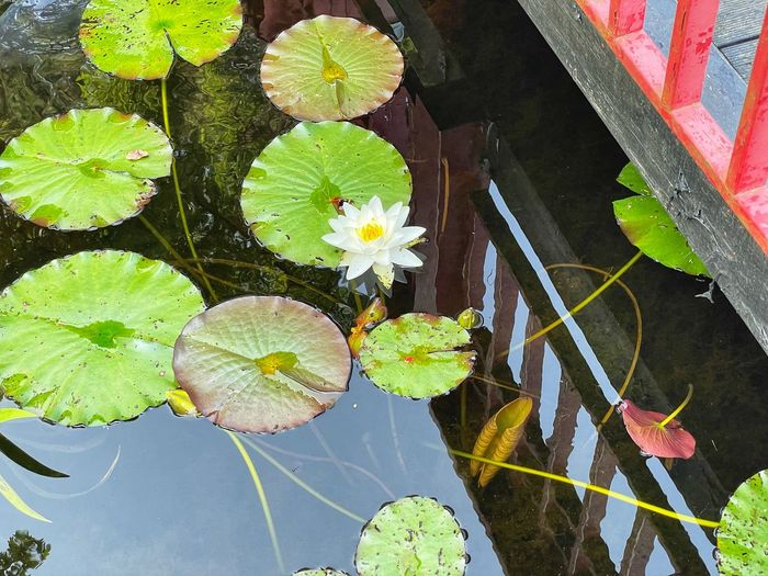 High angle view of lotus water lily leaves in pond