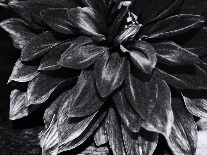 ダリア Flowers Flower Monochrome Blackandwhite Black And White Black & White Blackandwhite Photography MonochromePhotography Flower Collection Flower Photography Daria