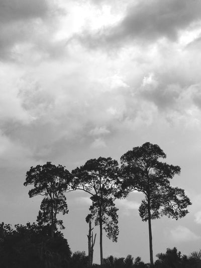 Three trees and a storm. Tree Sky Low Angle View Nature Tranquility Outdoors Tree Trunk Beauty In Nature Growth Scenics Silhouette Cloud - Sky No People Tranquil Scene Day Branch Palm Tree