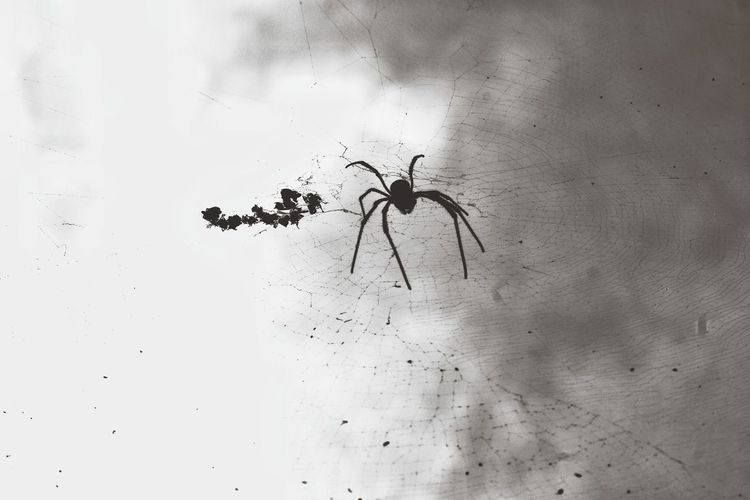 High angle view of spider on web against white background