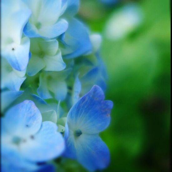 あじさいを鑑賞に行くのは曇りの日が良い。私も紫陽花もきっと同じ気持ち。暑くてグッタリでした Flowerporn EyeEm Flower Flower Nature_collection 紫陽花