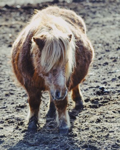 Pony Animal Themes Domestic Animals Mammal One Animal Standing Day Outdoors Nature No People Mane Farm Life Farm Cute Pony Horse Animal Pregnant