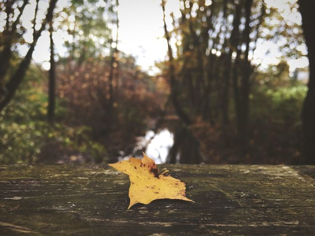 Tree Focus On Foreground Leaf Nature No People Outdoors Day Autumn Sunlight Forest Close-up Beauty In Nature Maple Bridge Wood - Material Wood Cold Temperature Brown White River Creek Lost In The Landscape Foggy Morning Autumn Day Idyllic