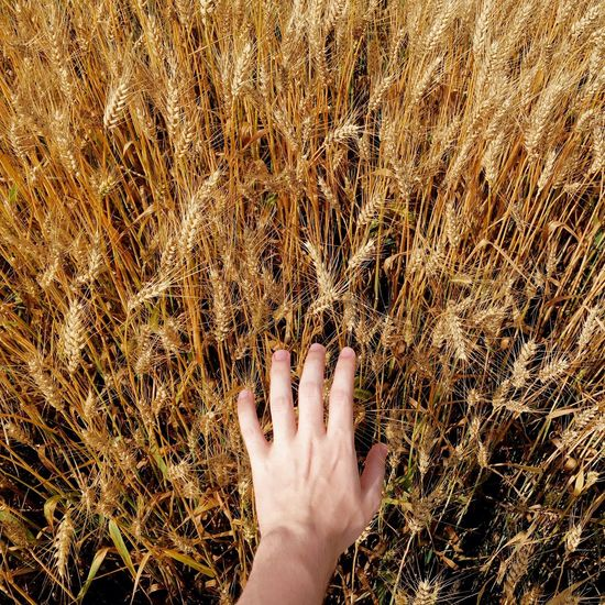 Close-up of hand touching wheat crop