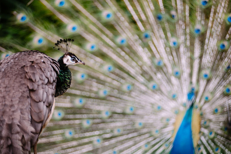 Close-up of peahen with fanned out peacock in background