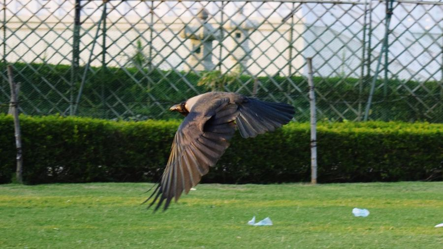 Flying Flying Crow Flying Bird Flying Low Bird Sport Playing Field Cage Chainlink Fence Grass Close-up It's About The Journey
