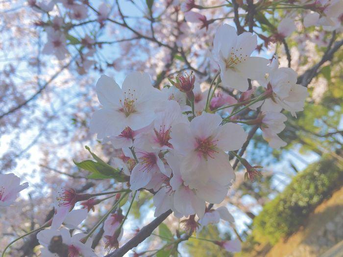 Arteducation Firstshot Sakura 0413 Sunny