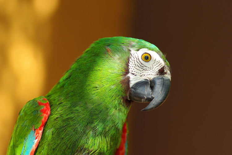 Close-Up Of Green Parrot