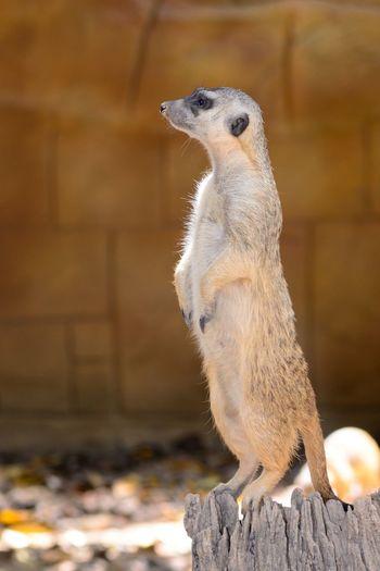 Close-up of mongoose