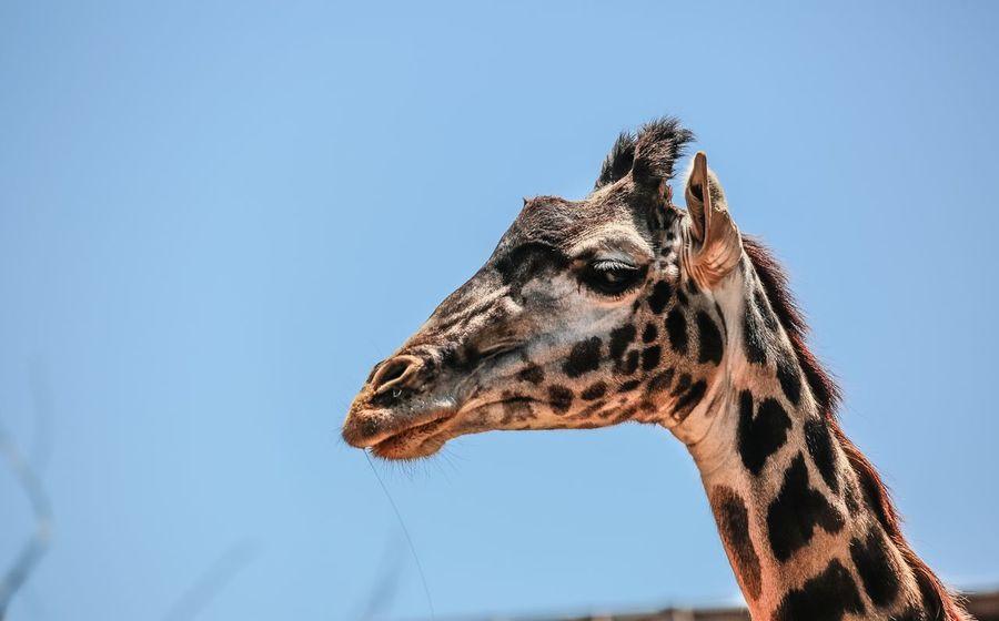 Giraffe Wild Animal Wildlife Wildlife Photography JGLowe EyeEm Selects One Animal Animal Wildlife Animal Animal Themes Animals In The Wild Sky