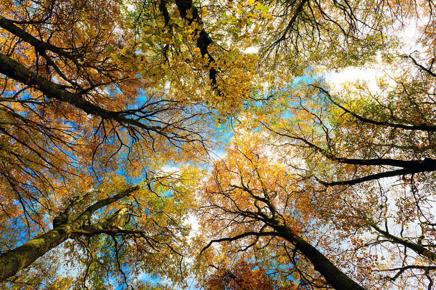 Beech trees taken from below, bright autumn colors, branches and trunks without leaves. Beech forest, beech forest in autumn. Tree Plant Low Angle View Autumn Beauty In Nature Branch Growth Tree Canopy  Day Nature No People Change Sky Tranquility Outdoors Tree Trunk Trunk Backgrounds Full Frame Scenics - Nature Directly Below Autumn colors Forest Forest Photography