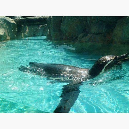 東武動物公園 東武動物園 ぺんぎん 昨日は東武動物公園へ行ってきました😄暑くて暑くてペンギンが羨ましかった😆💕