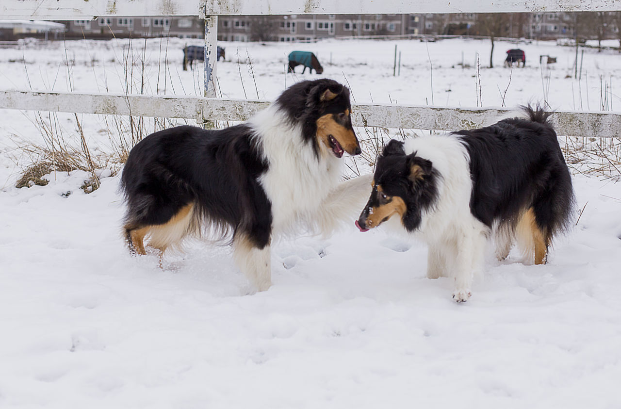 Border Collies Playing On Snowy Field