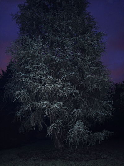 Tree Astronomy Winter Snow Pinaceae Forest Sky Landscape