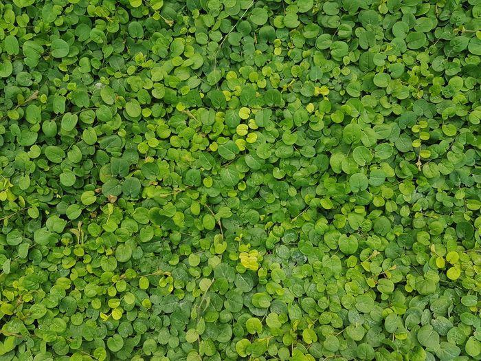 Green leaves background textured Field Nature Full Frame Backgrounds Green Grass Green Color Leaves Scene Botanical