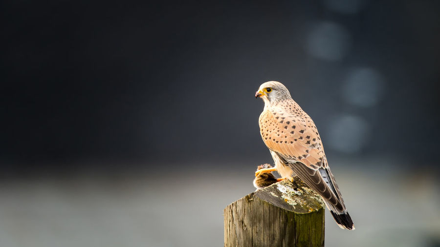 Common kestrel Falco tinnunculus, male, sitting with mouse on stake Animal Themes Animal Wildlife Animal Animals In The Wild Bird Vertebrate One Animal Perching Focus On Foreground Wood - Material Bird Of Prey No People Nature Day Close-up Copy Space Outdoors Wooden Post Looking Away Post Falcon - Bird Eagle Kestrel Kestrel Falcon Common Kestrel Falco Tinnunculus Mouse Prey
