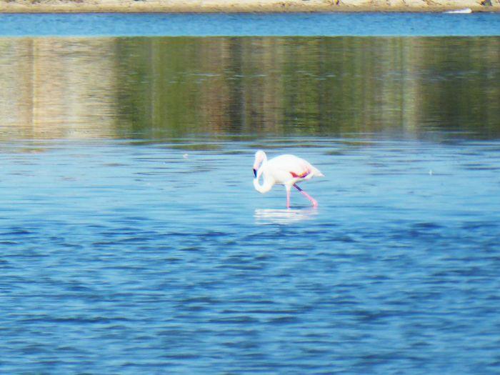 fenicottero rosa Fenicotteri Fenicottero Fenicotterorosa Sunset Mare Beach Animali Beauty In Nature Fenicotteri Rosa Flamingo Bird Water Swimming Lake Reflection Waterfront Swan Pelican