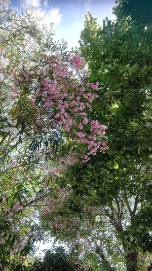 Natural Beauty No People Nature Tree Beauty In Nature Sky Flower 🌼pink Flowers 😍beauty 💐love Photography 💗 💗 💗 📷 Pink Color Roma Green Trees Today ☺ Cute 😍😍😍 Beautiful 🌳arbol Piante Colorate Fioritura Fiori Bianco Cielo 📷 By Me 👍good Moment👍